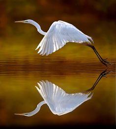 Birds: Amazing photo by Stefano Ronchi, Nature Photographer Pretty Birds, Love Birds, Beautiful Birds, Animals Beautiful, Illustration Photo, Photo Animaliere, Water Reflections, Tier Fotos, Mundo Animal