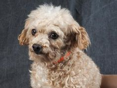 Adopt Ford, a lovely 5 years  4 months Dog available for adoption at Petango.com.  Ford is a Poodle, Toy and is available at the National Mill Dog Rescue in Colorado Springs, Co.  www.milldogrescue.org #adoptdontshop  #puppymilldog   #rescue  #adoptyourfriendtoday