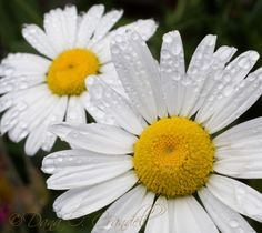 Liquid Sunshine Photo in Album Flowers - Photographer: PT Talker