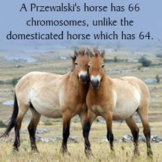 Preszwalski horses the only true WILD horse. All other so called wild horses are actually offspring of FERAL domestic horses. Rare Horses, Wild Horses, All The Pretty Horses, Beautiful Horses, Wild Women Expeditions, Ukraine, Rare Horse Breeds, Horse Facts, Types Of Horses