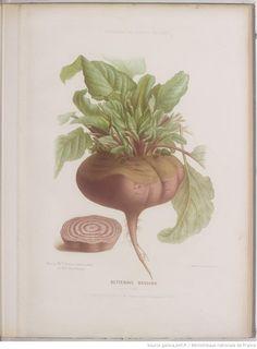 Album Vilmorin. Fleurs rustiques, annuelles et vivaces, légumes et plantes fourragères, peintes d'après nature par Mme Champin et Mlle Coutance Auteur : Vilmorin - 1851-1861