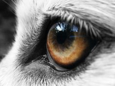 wolf close up eyes - Google Search