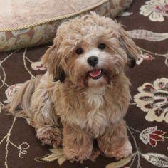 LillyBits Shichon Puppies - Hazel