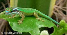 Critically Endangered.  Phelsuma inexpectata | The Reptile Database