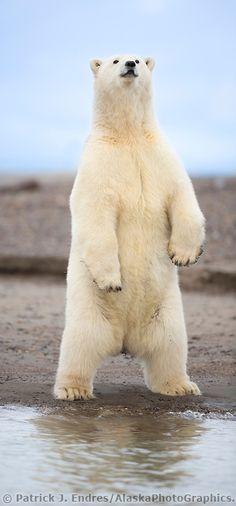 Polar bear stands upright along the shore of Alaska's arctic.