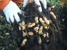 How to plant peanuts - didn't know they grew in the ground