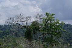 chimpol 5 @ www.mytropicalhut.com