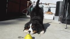 *Dies from cuteness* | Community Post: 19 Bernese Mountain Puppies Who Just Want To Make Your Day Better