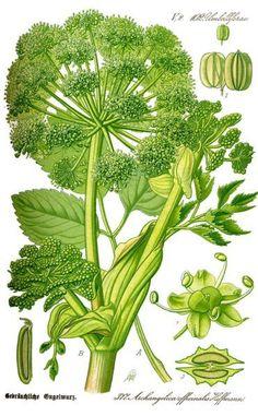 Früher war die Angelika (Arznei-Engelwurz) eine beliebte Heilpflanze. Heute ist sie meist verwildert zu finden und kann u.a. bei Verdauungsproblemen helfen.