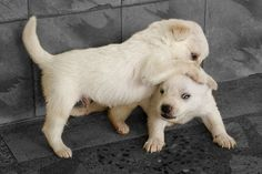 https://flic.kr/p/qzzY7 | Puppies WWF | 15 day old Pom puppies trying to be close to each other. Childhood is always play, fun and learning irrespective of the specie.