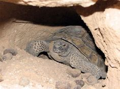 Desert Tortoise Cold Weather Care. Tortoises maintained in southern Arizona are usually active by April, but in particularly dry years, your tortoise may not emerge until the summer rains begin in July or August.