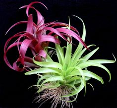 Love these  Plant Oddities Tillandsia abdita-Mexican Form