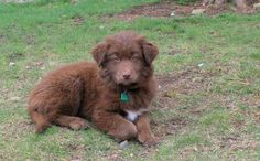 Meet Loren(female), a Petfinder adoptable Labrador Retriever Dog | Dedham, MA | Their (Sophia and Loren) mother was a chocolate lab/Husky Mix and father a Great Pyrenees.  They...