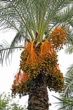 Date Palm Tree by archer10 (Dennis), via Flickr