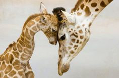 Giraffe-Love-Cute