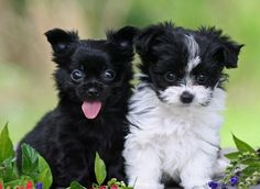 Mi-Ki puppies are the best adorable puppies , who are most loving little dogs. Mi-Ki in Florida are extremely rare and pet friendly puppies.For details, Call or text : 727-510-7290