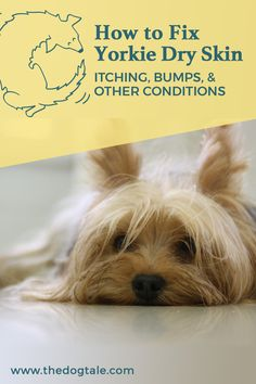 Dealing with Yorkie dry skin? Learn the symptoms, causes, and treatment of bumps, allergies, and other common Yorkie skin conditions in this guide. Itchy Dog Remedies, Dog Flea Remedies, Itching Remedies, Dry Skin Remedies, Natural Remedies, Yorkie Hairstyles, Dog Skin Allergies, Dog Haircuts, Yorky