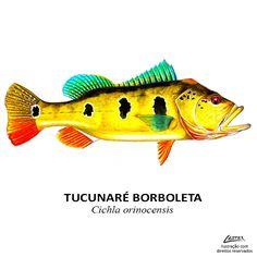 Conheça as principais peixes e espécies esportivas de rios, lagos e represas brasileiras. Temos a maior de diversidades de peixes da água doce do mundo. Fishing Lures, Fly Fishing, Peacock Bass, River Monsters, Fish Illustration, Illustrations, Types Of Fish, Marine Biology, Fish Art