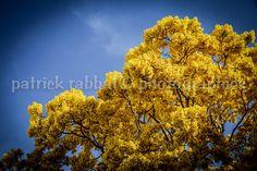 Yellow Tree Photo Fine Art Travel Photography Blue Yellow