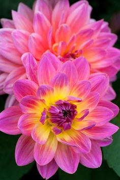 "~~Dahlia 'Ken's Rarity' | a stunning waterlily dahlia with pink petals and glowing yellow centers. 4"" blooms, 3-1/2 ft height well-suited to growing at the back of a mixed herbaceous border, and makes an excellent cut flower. 