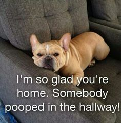 """Not ME, but Somebody"", guilty French Bulldog."