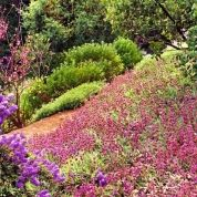 Drought-tolerant plants tend to do best since hillsides are often windy and sunny and difficult to irrigate. To prevent erosion, choose plants that root tenaciously and cover the ground year-round. 'Bee's Bliss' salvia (S. sonomensis), shown here, has the bonus of showy purple flowers.