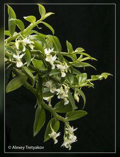 Den oligophyllum 01.jpg