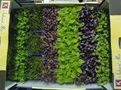 How to Grow Microgreens: A Beginner�s 101 Guide