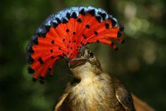 Northern royal flycatcher (Onychorhynchus (coronatus) mexicanus).