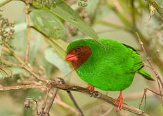 Grass-green Tanager - Bird of the Amazon. This is the male.