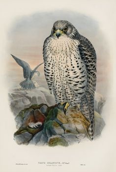 Falco Islandus Iceland Falcon by WOLF from Antique Ornithology Prints by Joseph Wolf from Birds Britain 1873