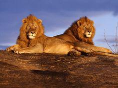Leões deitados olhando para o sol #leoes leoes deitados leoes sol