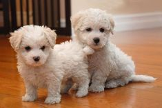 Cute Puppy Breeds, Cute Dogs And Puppies, Doggies, Maltese Dogs, Bichon Frise, King Charles Spaniel, Yorkshire Terrier, Beautiful Dogs, Shih Tzu