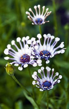 Whirligig Daisy ~ It's a frost-hardy perennial with white & purple flowers that grows from summer to Fall.