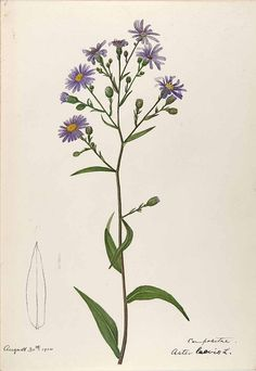 Collection of aster tattoo images in collection) Aster Tattoo, Aster Flower Tattoos, Flor Tattoo, Birth Flower Tattoos, Flower Tattoo Designs, September Birth Flower, September Flowers, Birth Month Flowers, Botanical Drawings
