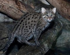 Wow, Fishing Cats - medium-sizeded wild cats found in South and Southeast Asia. They were classified in 2008 by the IUCN as endangered, because the wetlands habitats in these areas are fast becoming degraded or settled. The Fishing Cat population has severely declined in the last decade alone.