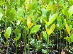 Mudas de frutas e plantas arvores mogno cedro