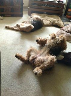 Synchronized Airedale Sleep Positions!