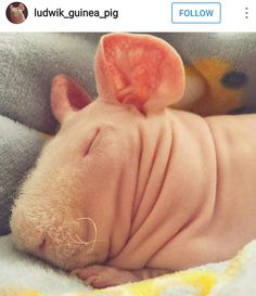 Loe him! I want a Skinnypig SO bad! ❤