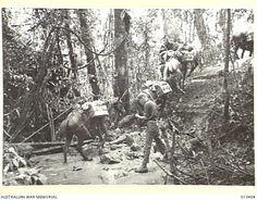 1942 New Guinea Supply Mules & Ponies moving through dense bush