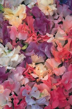 Sweet Peas are fragrant. 'Pastel Sunset' is a sweetly scented pastel mixture of rose-pink, cream, lavender-blue, shades of pink, peach and almond.