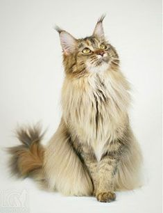 Show Cats http://www.mainecoonguide.com/adopting/