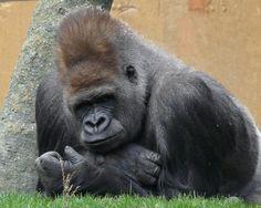 Leader of the gorilla troop---Calgary Zoo Types Of Monkeys, Go Ape, Monkey Business, Fauna, King Kong, Primates, Giraffes, Calgary, Old World