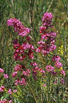 Erica taxiflora