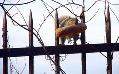A squirrel with  a baguette in its mouth runs along a fence in Irvington, New York