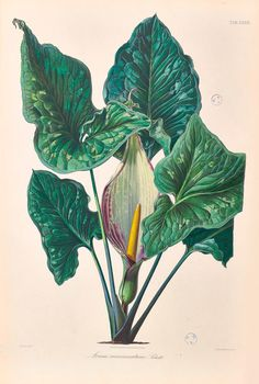 The Biodiversity Heritage Library works collaboratively to make biodiversity literature openly available to the world as part of a global biodiversity community. Science Illustration, Plant Illustration, Botanical Illustration, Botanical Flowers, Botanical Prints, Floral Prints, Vintage Prints, Vintage Art, Jose Maria Velasco