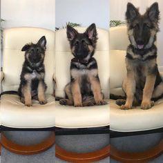 GSD Puppy-Arlo