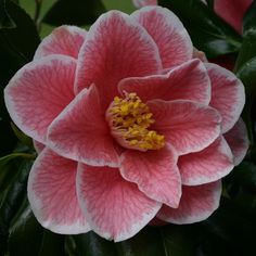 Yours Truly (Camellia Japonica)