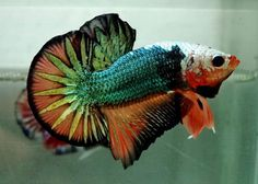 Betta Splendens: Les plus belles photos de bettas: Avril 2013 Koi Betta, Betta Aquarium, Betta Fish Tank, Beta Fish, Halfmoon Betta, Colorful Fish, Tropical Fish, Oscar Fish, Betta Fish Types