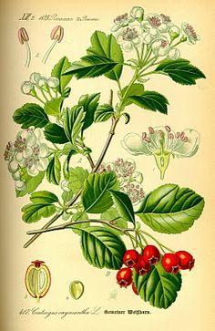 Botanical plate, Mayflower - 1885